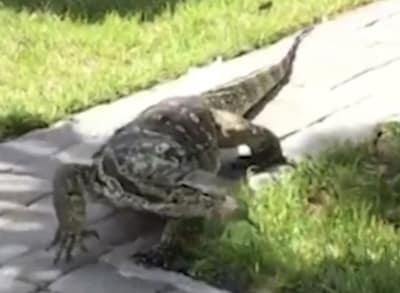 Lagarto gigantesco invade jardim de uma casa na Flórida